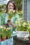 lentebloeier Narcissus 'Topolino' 10cm