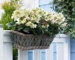 Plant van de maand november: de kerstroos (helleborus niger)