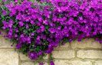 Tuinplant van de Maand maart: Muurbloemen: steengoed